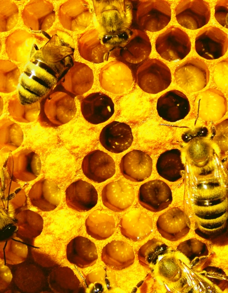 2-division_of_labor_bees_w_larvae