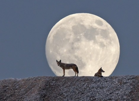 Night of the Coyotes by Tim J.