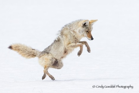 Coyote Dancing Pouncing by Cindy Goeddel  (click image for website)