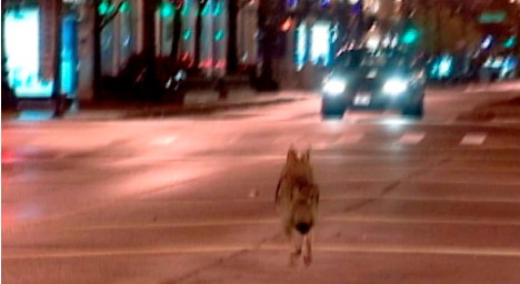coyote-chicago