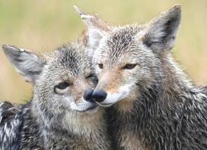 coyote-couple