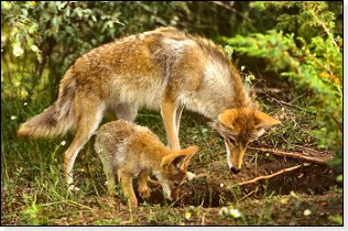coyote-mother-and-pup