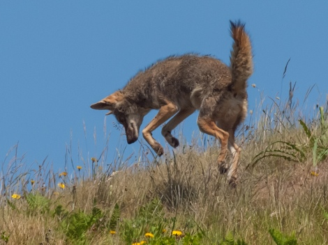 coyote_canis_latrans